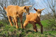 golden guernsey - Google Search