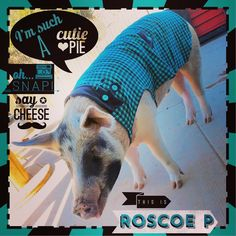 This here is one of my biggest pigs yet Roscoe P weighing in at 380 pounds custom coat flannel with fleece lining  https://www.facebook.com/LaChulaFashions/