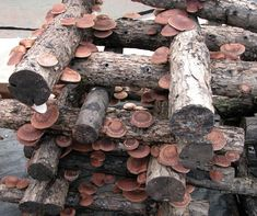 Episode 151 Shiitake Mushroom Cultivation I don't think shitake was what you use for stuffed mushrooms but I remembered you liked them. Growing Shiitake Mushrooms, Grow Your Own Mushrooms, Garden Mushrooms, Culture Champignon, Organic Gardening, Gardening Tips, Mushroom Cultivation, Mushroom Fungi, Mushroom Quinoa