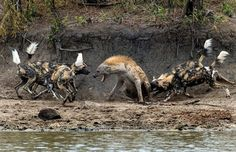 But not prepared to go down without a fight, the defiant hyena launched a valiant fight back