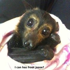 Speckled flying fox orphan