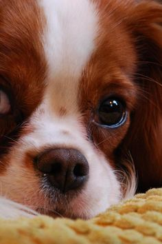 """The Cavalier King Charles Spaniel is little, loving and playful. The normal Cavalier is always happy, relying on and easygoing, a pal to everybody he fulfills. True to their heritage as """"comforter canines,"""" Cavaliers enjoy to be in a lap. Proper Dog Training Tips Your Pet With Many Thanks For Training a pet dog is actually difficult, but anyone can succeed, and have fun at the same time. This article will aid you with the method. When you give these super hints a try, it would make t"""