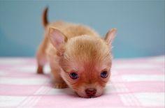 Teenie Chihuahua Pup