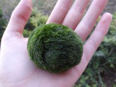 Real life PIGMY PUFF!!!!!!----Giant Japanese Marimo Moss Ball - 毬藻 its alive! this marimo is about 6 years old.  Many Japanese have Marimo as pets in their homes and offices. They are beautifully soft and smooth like velvet and are very easy to care for