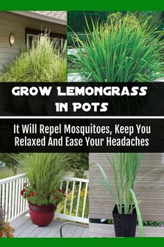 Learn how to plant and grow lemongrass in the comfort of your home. Lemongrass has anti-inflammatory, anti-septic, anti-fungal and diuretic properties. It can provide great benefits for your body if you use it properly. Outdoor Plants, Garden Plants, Outdoor Gardens, Shade Garden, Plants For Patio, Plants Around Pool, Rustic Gardens, Indoor Outdoor, Container Plants