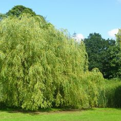 Salix x sepulcralis chrysocoma   Golden Weeping Willow Trees