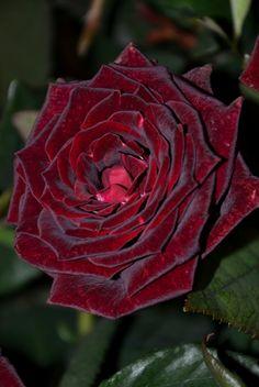"Rose 'Black Magic' per Kitty Belendez ""I'm not sure that I really need four Black Magic bushes but I truly love that rose."""