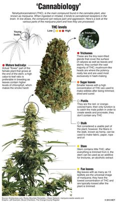 How THC Levels in Cannabis Strains Have Evolved Though the potency in some plants today is almost 5 times stronger than those 20 years ago, none of them. Growing Weed, Cannabis Growing, Cannabis Plant, Cannabis Oil, Growing Plants, Weed Facts, Marijuana Facts, Ganja, Herbs