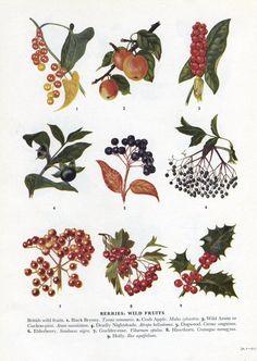 vintage berry botanical print holly autumn decor fall harvest dogwood, elderberry, kitchen decor