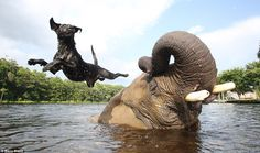 Bubbles and Bella playing ball - an unusual friendship between an orphaned elephant and a black lab