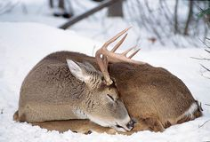 Deer Bedding, Deer Signs, Prey Animals, Deer Photos, Visual Aids, White Tail, Winter Beauty, Bow Hunting