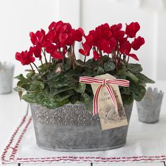 ☆  ★  ☆ Christmas Cyclamen... We usually do poinsettias in the USA, but I love cyclamen, because they last all year.
