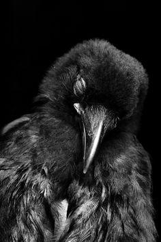 sleepy crow by depleted on deviantART
