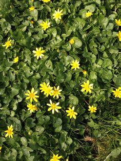 Vorterod  (Ranunculus ficaria) er vildtvoksende og står meget smuk her tidligt om foråret. Nogle betragter den måske som lidt irriterende ukrudt men her omkring haven er den velkommen og meget dekorativt.