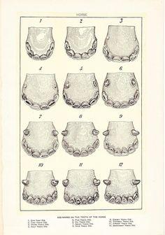 Equine teeth- age :)