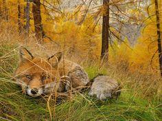 Un zorro se esconde entre los pastos, acechando a su presa. Esta fotografía pertenece a la serie de National Geographic Paradise Found. Tomada por Stefano Unterthiner en el Parque Nacional Gran Paradiso, en Italia. -