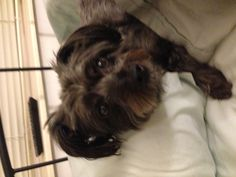 Is it really time to get up? Yorkie poo