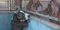Aumentan ataques de perros Pit-Bull