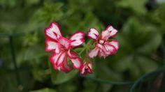 Geranio Edera (Pelargonium Peltatum) - Significa Ingegnosità