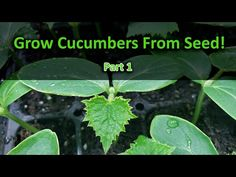 How To Grow Cucumbers Part 1 - Seeding! - YouTube Cucumber Kimchi, Cucumber Plant, Cucumber Seeds, Tomato Farming, Balcony Garden, Planting Seeds, Garden Paths, Outdoor Gardens, Plant Leaves
