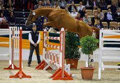 American-bred Trakehner stallion Davidas earns Premium Approval in German, named best jumping stallion. Photo by Stefan Lafrentz.