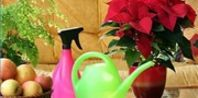 How to take care of a poinsettia plant after Christmas