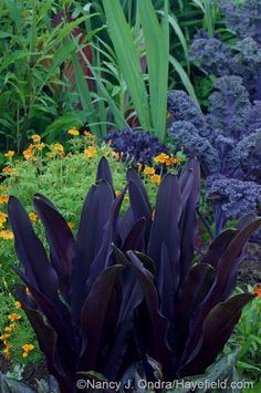 Sometimes hardy to zone 5 if heavily mulched! 'Oakhurst' pineapple lily (Eucomis comosa) with 'Tangerine Gem' signet marigold (Tagetes signata) and 'Redbor' kale Tropical Plants Uk, Exotic Plants, Tropical Gardens, Tropical Landscaping, Exotic Flowers, Love Garden, Dream Garden, Garden Ideas, Garden Borders