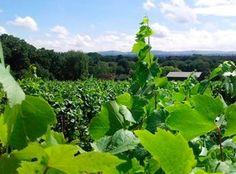 Sussex Vineyards: Bolney Wine Estate
