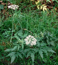 Water hemlock. Flower looks like Queen Anne's Lace