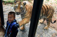 Menino posa para foto encostado em vidro que separa o público de #tigres, em um parque na #China. Foto: Lin Yiguang/Xinhua.
