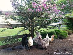 Plants that survive a chicken run- Butterfly bush, juniper and rose bushes.