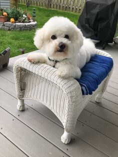 Some Helpful Ideas For Training Your Dog. Loving your dog does not mean you are willing to let him go hog wild on your possessions. That said, your dog doesn't feel the same way. Bichon Dog, Havanese Puppies, Maltese Dogs, Teacup Chihuahua, Small Puppies, Cute Puppies, Cute Dogs, Dogs And Puppies, Doggies