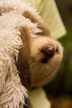 Baby sloth :o)