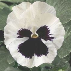 Pansy Delta White Blotch – Famous Last Words Daffodil Flower, Hibiscus Flowers, All Flowers, Exotic Flowers, Purple Flowers, Flower Art, Beautiful Flowers, Cactus Flower, Colorful Flowers
