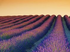 Lavender Field at Sunrise, France | Unreal places around the world | News.com.au