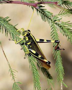 Mature Lubber Grasshopper - Romalea microptera - male | Sylvia ...