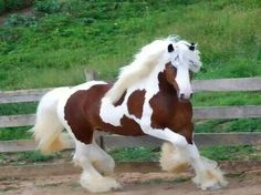 Gypsy Vanner Horse - beautiful!