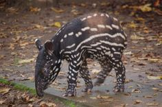 The tapir, a large land mammal, is under threat due to clearcutting for sugarcane and other commercial crops in its rainforest habitat. Demand that funds are allocated to study and preserve the habitat of the endangered tapir.