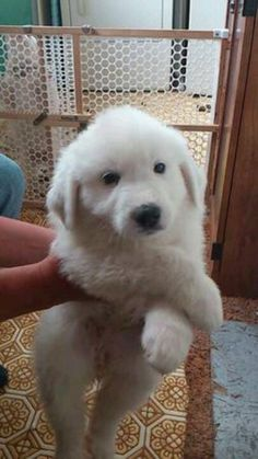 Pyrenees puppy. Way too cute!
