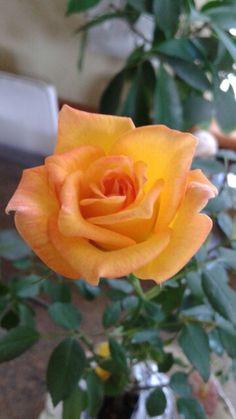 "Rose ""Emma Grace""  Photo by Jan R. Fuller"