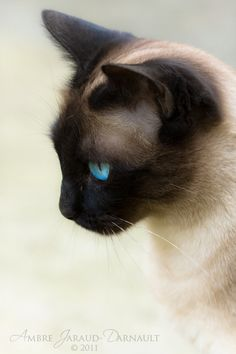 I miss having a Siamese cat.