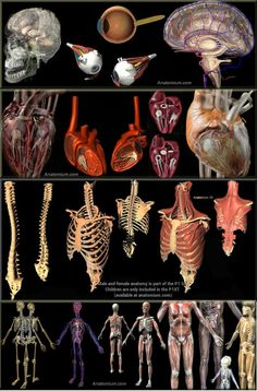Complete Human Anatomy Male Female 5000 parts Anatomium Model in Anatomy Anatomy Male, 3d Anatomy, Human Anatomy, Female, Model, Scale Model, Human Body Anatomy, Models