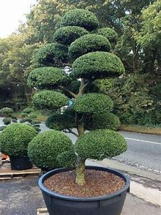 Image result for Japanese Topiary