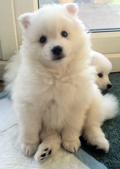 Japanese Spitz; Yuki at 7 weeks // eldoobio
