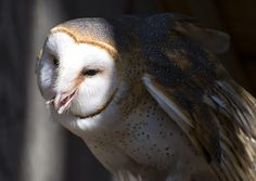 Love the white face of the Barn Owl appearing out of darkness in Chris Flees' Barn Owl 1