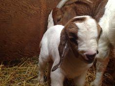 Newborn boer goat!