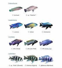 Image result for cichlid fish