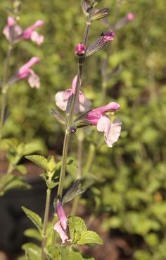 SALVIA microphylla 'Dancing Dolls' Dancing Dolls, Salvia, Plants, Plant, Planting, Planets