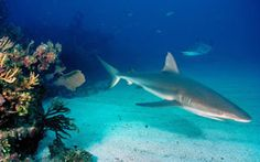 Underwater Shark HD Wallpapers. For more cool wallpapers, visit: www.Hdwallpapersb... You can download your favorite HD wallpapers here .. It's free