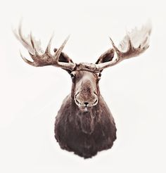 """""""She was staring up at the moose head, and he was staring back at her. The moose had the saddest eyes of anyone she had ever seen"""" (p. Moose Head, Bull Moose, Moose Art, Set Theatre, At Home Movie Theater, Moose Tattoo, Moose Pictures, Crane, Vintage Cabin"""